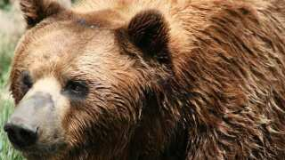 Grizzly bears put back on endangered list in Greater Yellowstone Ecosystem