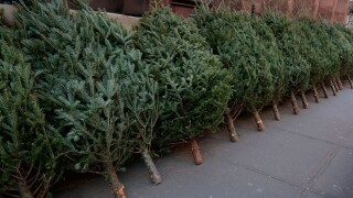 Live Christmas trees can carry mold, cause allergic reactions