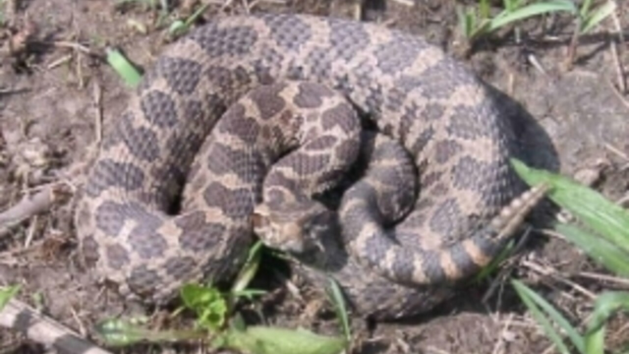 Michigan woman recovering after being bitten by large rattlesnake in her yard