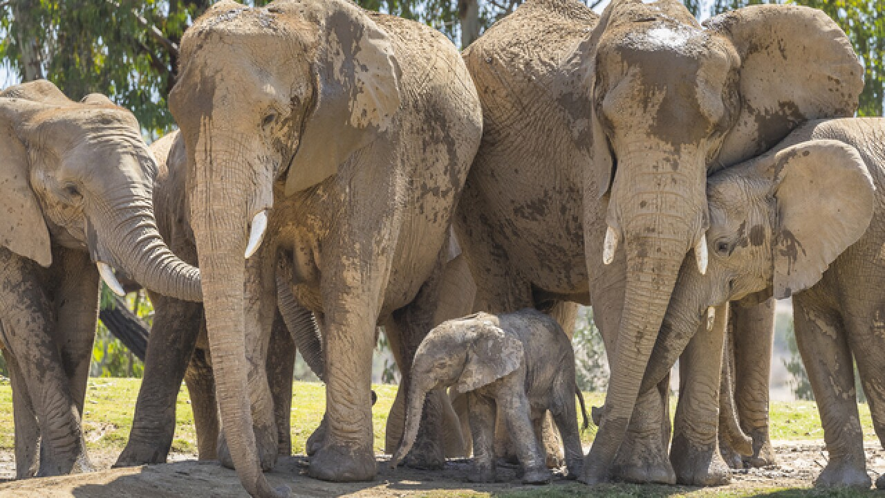 1-day-old elephant meets herd at San Diego Zoo