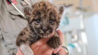 wptv-florida-panther-cub.jpg