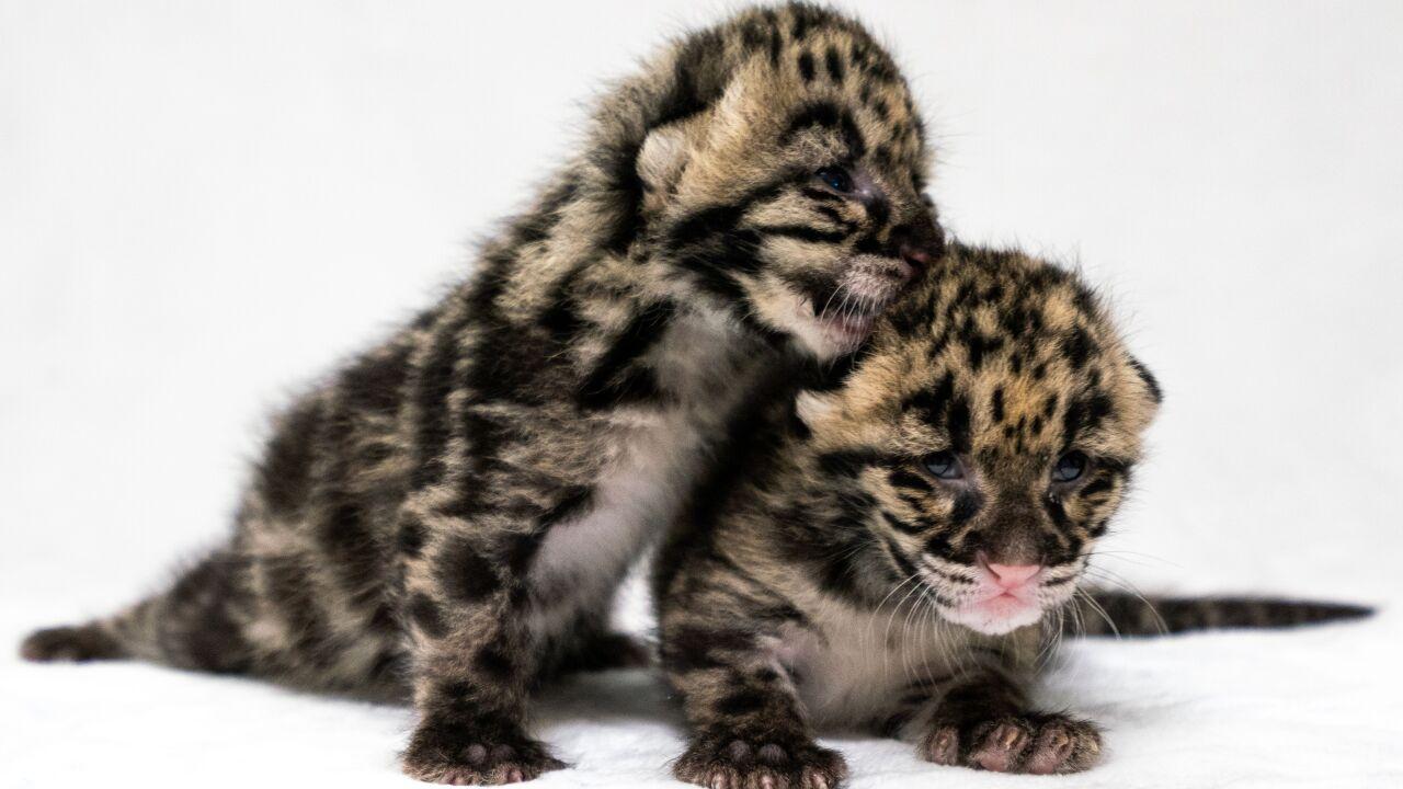 Clouded leopard Blake W. Smith 2.jpeg