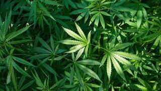 Study: marijuana legalization tied to decline in teen potuse