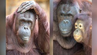 Zoo Miami orangutan named 'Kumang' dies on Sept. 23, 2021