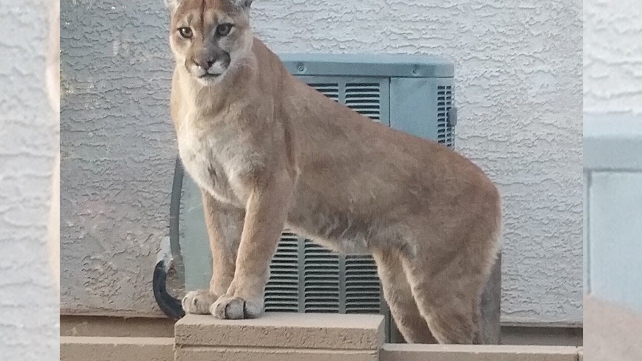 Authorities warns residents of mountain lion sightings in Saddlebrooke