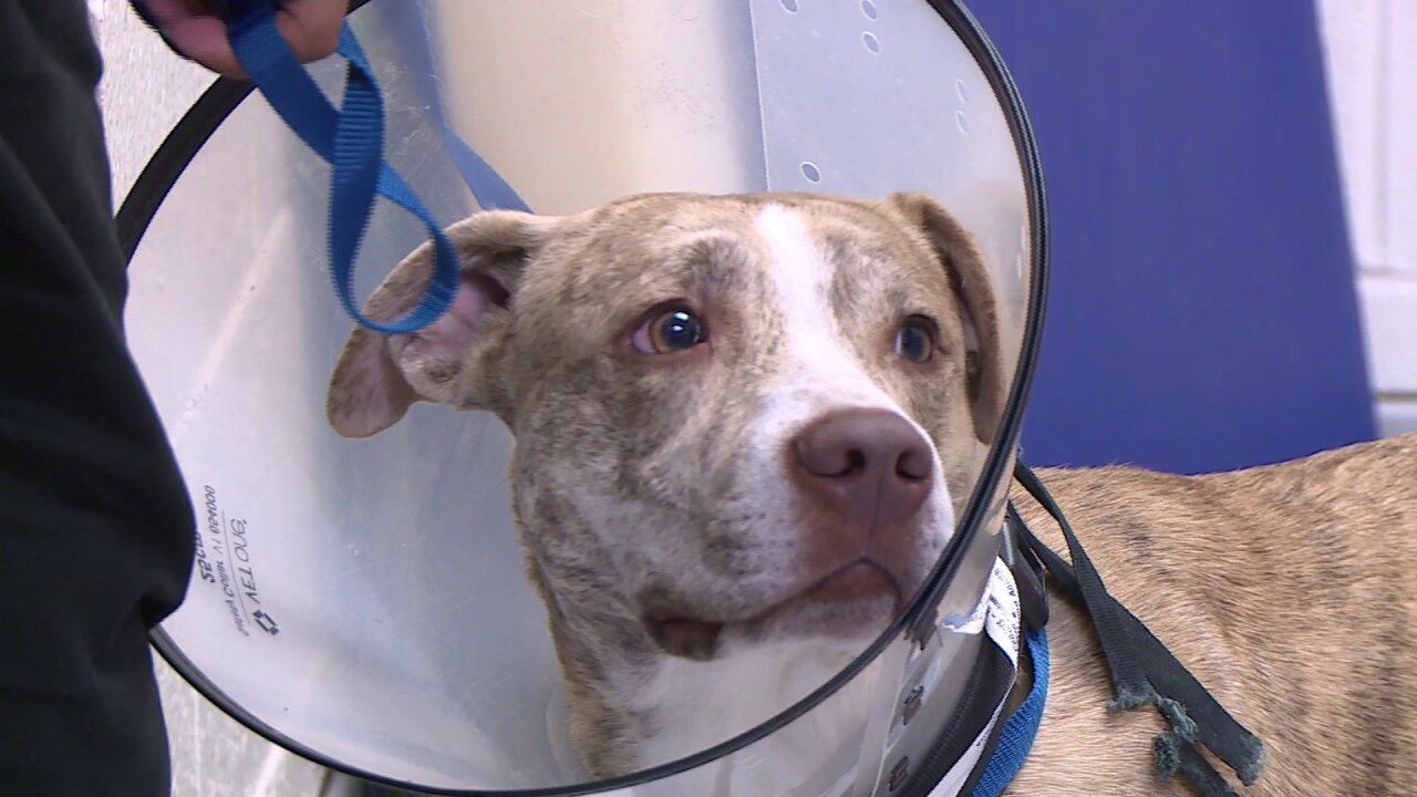 Surgery successful for dog with 'belly full' of bones and rocks found inRichmond