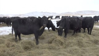 Montana Ag Network: Keeping Cattle Healthy and Strong during Winter