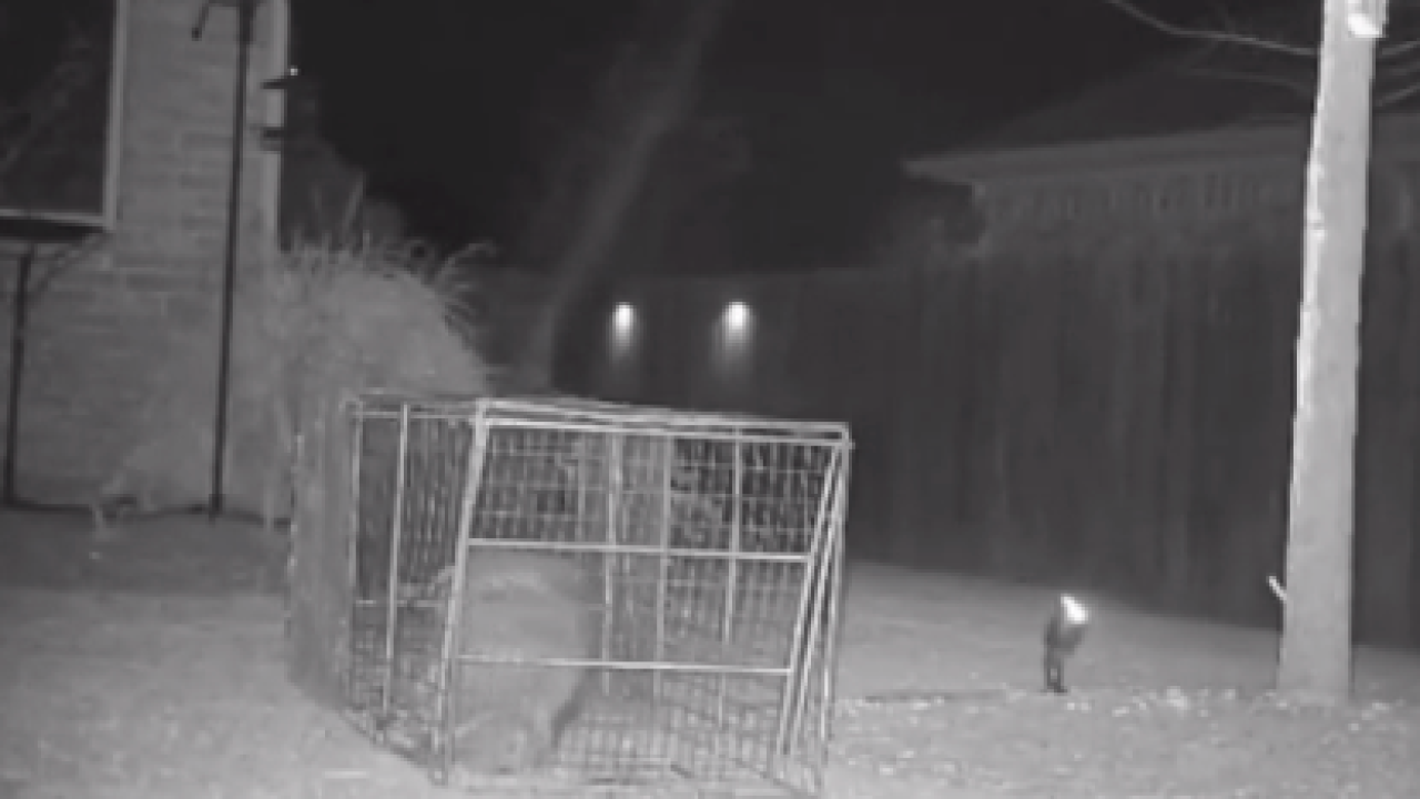 Watch: Raccoon escapes homeowners by squeezing through trap