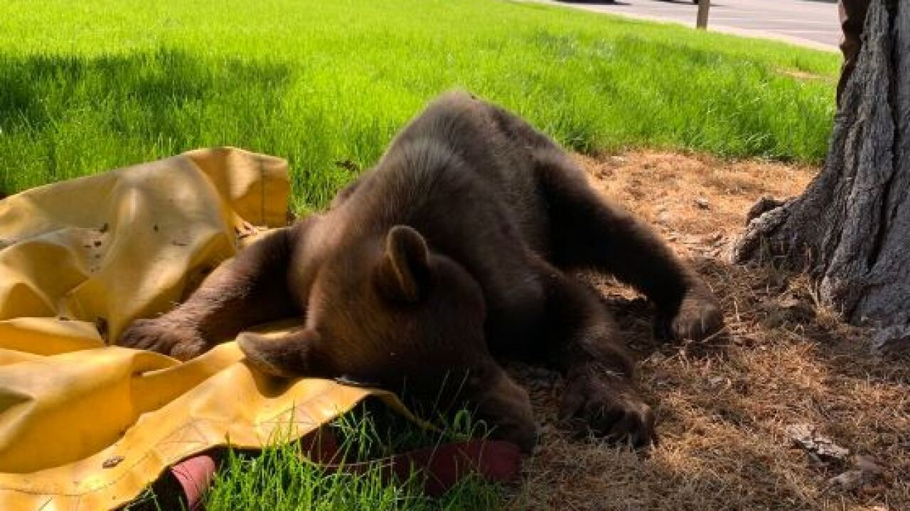 Bear captured in Mapleton Thursday; third encounter with a bear in Utah County thisweek