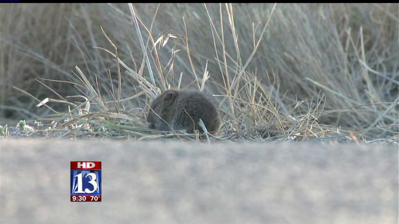 NSL neighborhood invaded by voles