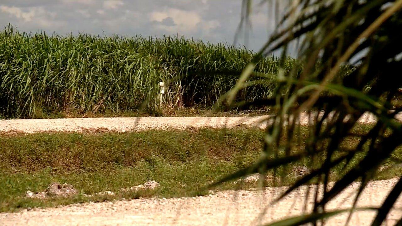 Palm Beach County Sugar Cane