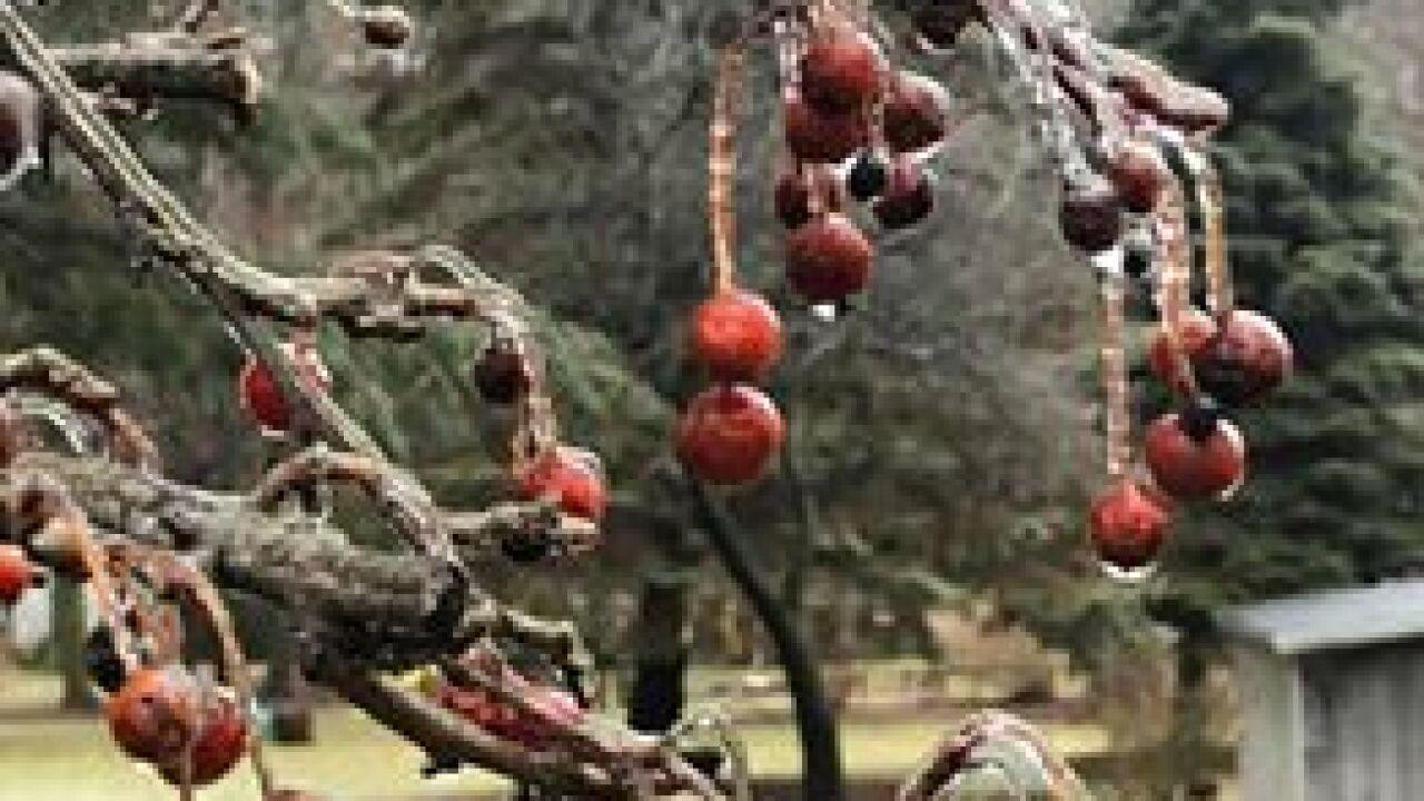 Icy Berries in Holland - Courtesy Kim Bos via Facebook.jpg
