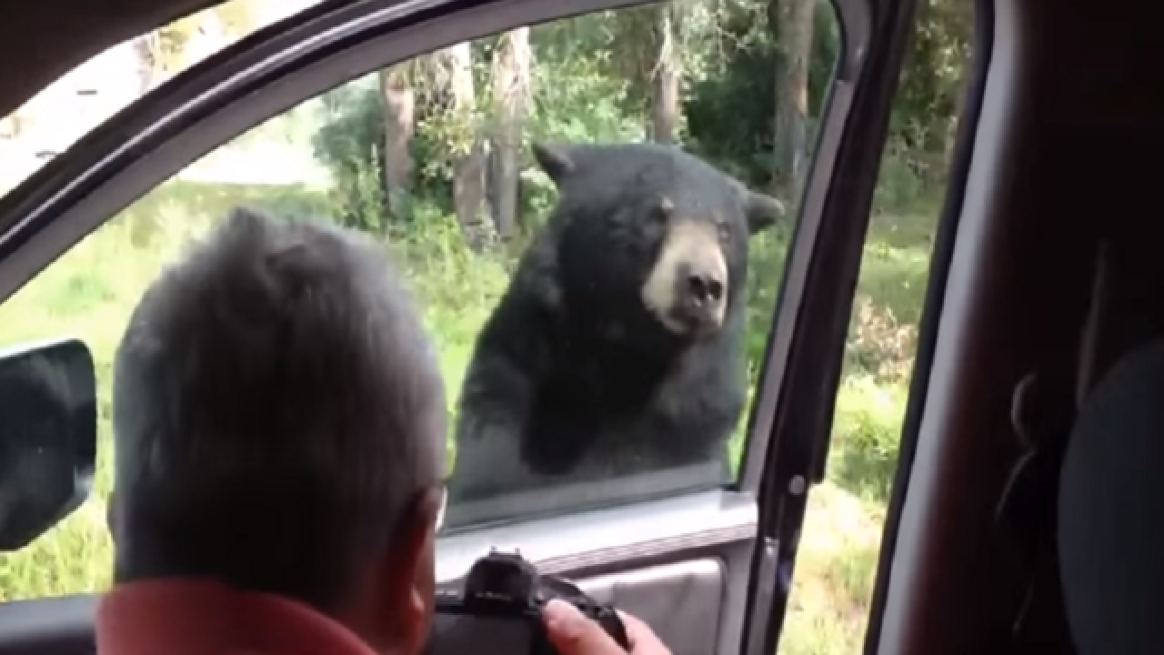 WATCH: Black bear opens car door at Yellowstone National Park