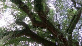 evangeline oak.JPG