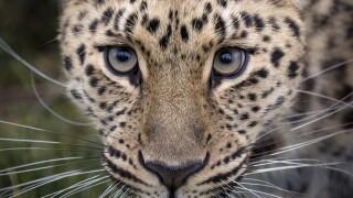 Photos: Escaped leopard tranquilized, Hogle Zoo visitors aresafe