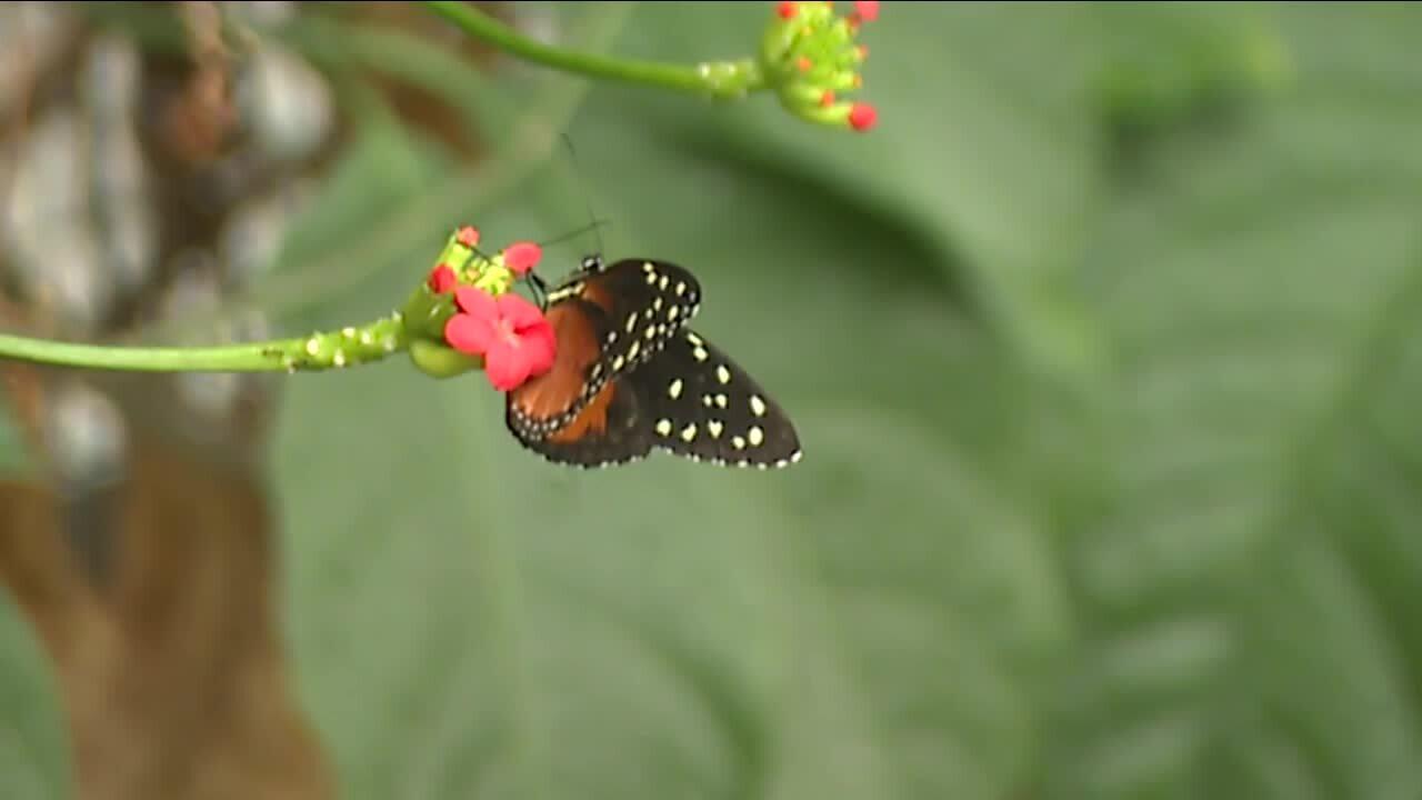 Cleveland Botanical Garden butterflies