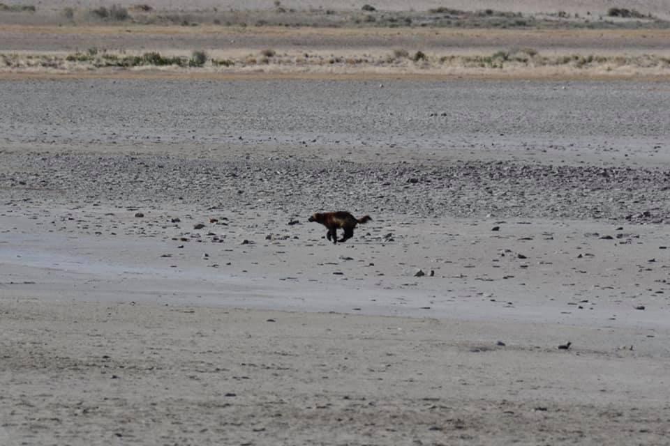 Wolverine Antelope Island