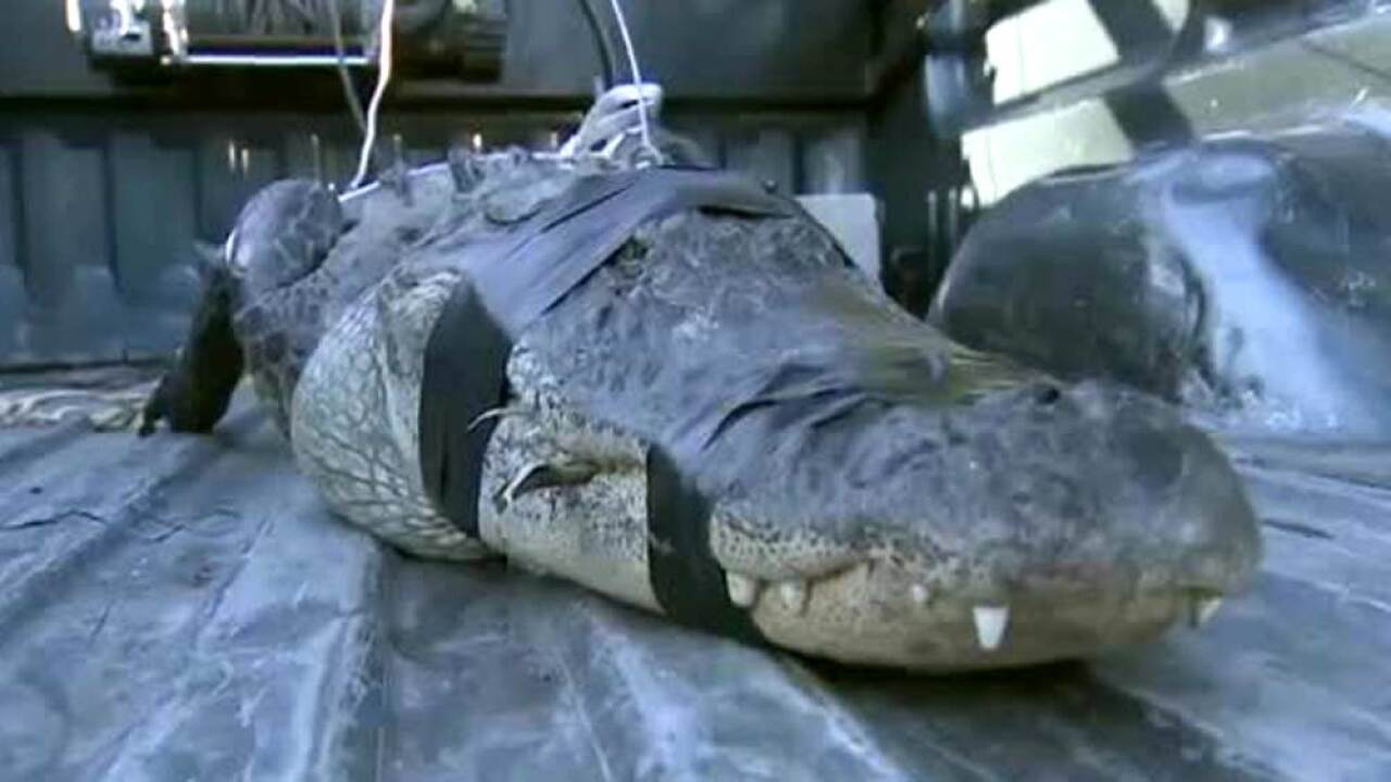 An 80-year-old South Florida man took it upon himself to catch an alligator that slithered into his Southwest Miami-Dade backyard on April 16, 2019.