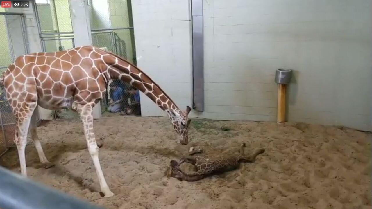 Giraffe calf 3.JPG