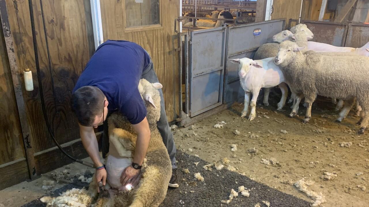hh - sheep shearer.jpeg