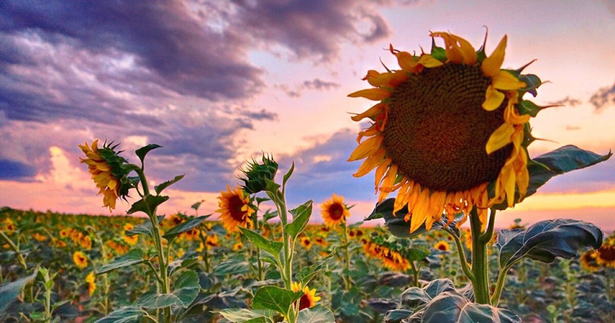 'What's that?': Picturesque sunflower fields near DIA