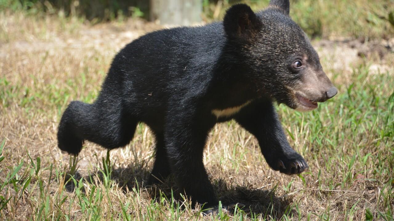 Meet Ramsey! Asiatic black cub now on display at the Metro RichmondZoo