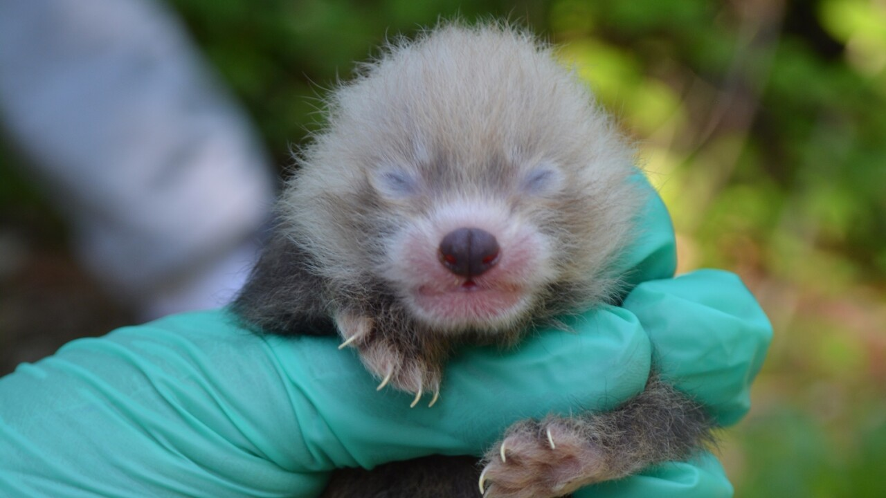 Virginia Zoo welcomes two red panda cubs