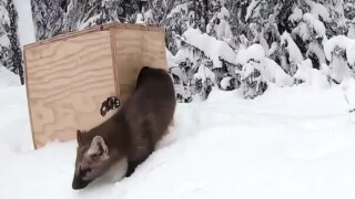 This Week in Fish and Wildlife: Pine Marten return to the Little Belts