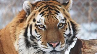 Yuri_new amur tiget at the denver zoo.jpg
