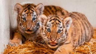 Toledo Tiger Cubs
