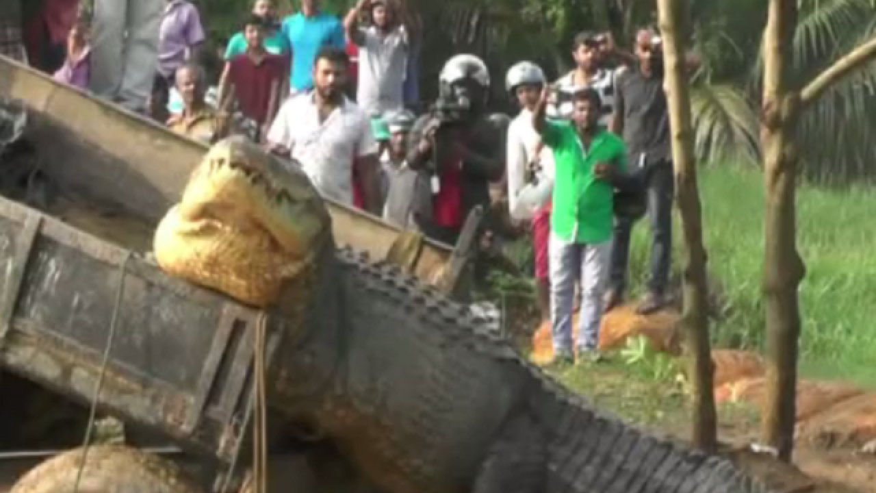 WATCH: Giant crocodile in Sri Lanka rescued and released