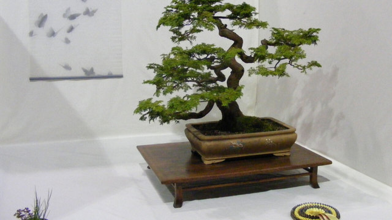 "Bonsai specialist holding demonstration on ""How to Bonsai"""