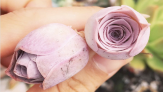 You Can Grow Succulents That Look Just Like Roses