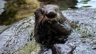 Nova sea otter eating shrimp.jpg