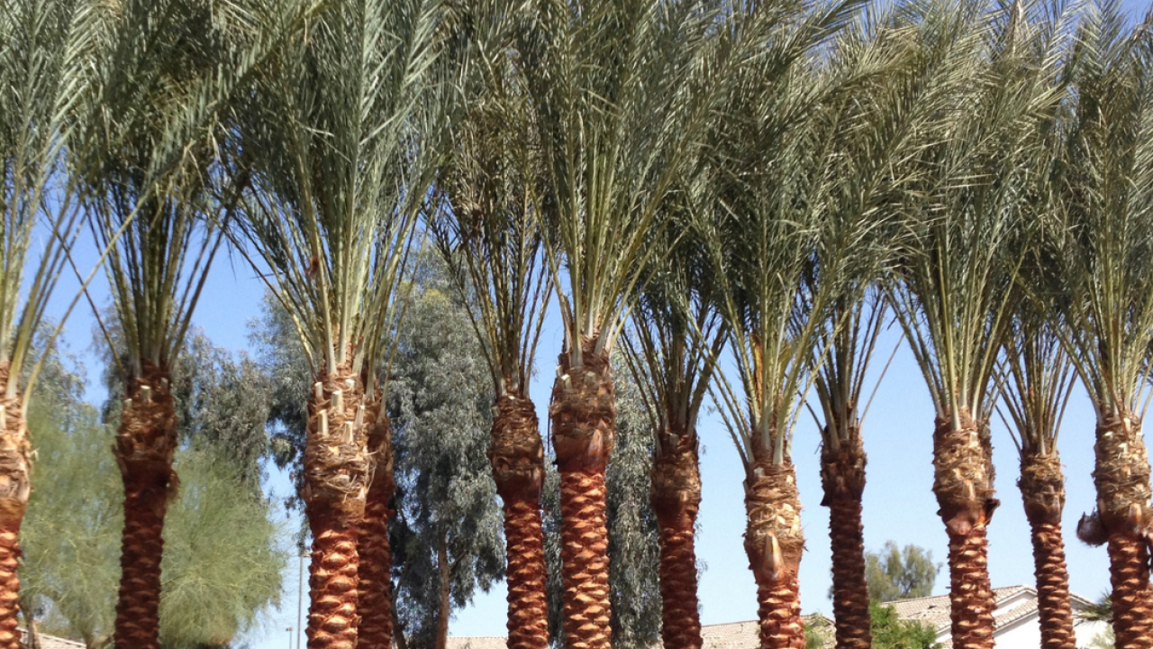 moon valley nursery_palm trees