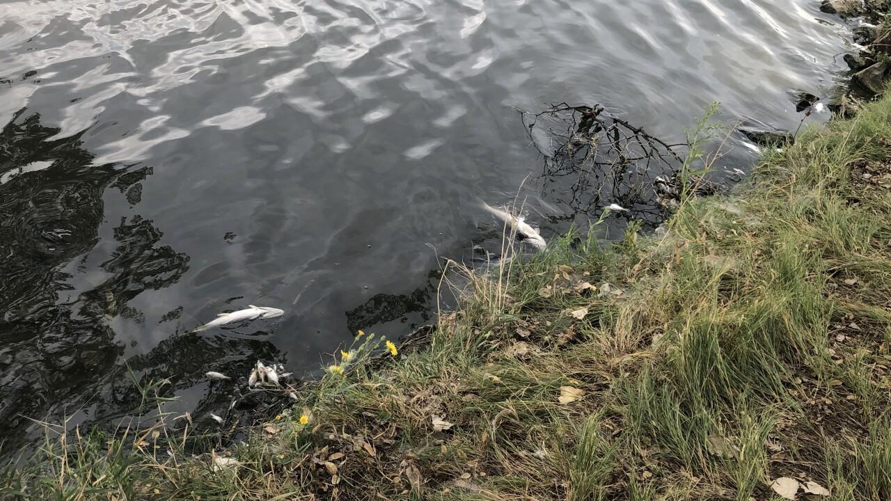 Dead fish at Sloan Lake_Aug. 19 2020