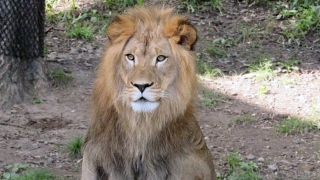 denver zoo lion.png