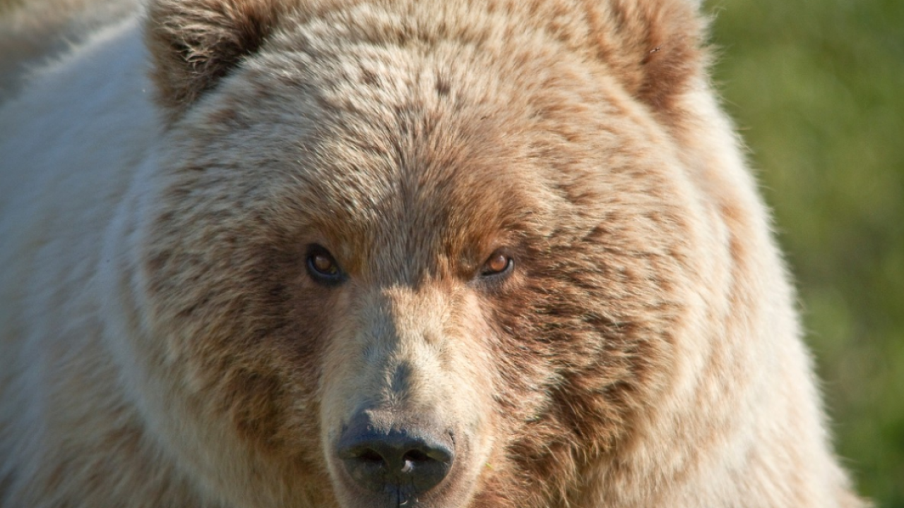 Yellowstone park visitor injured by grizzly bear