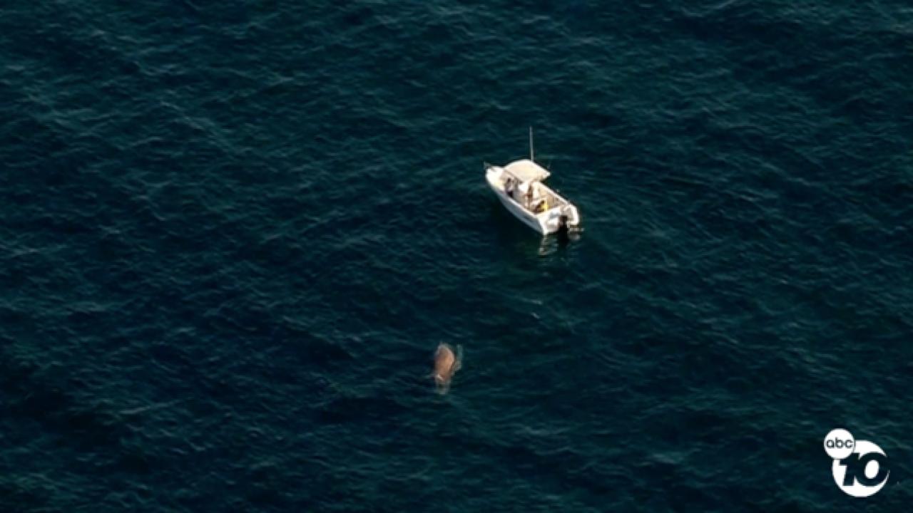 Whale swims close to La Jolla beach