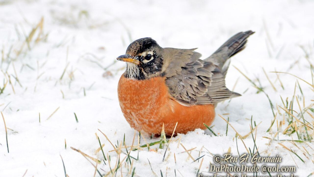 Robins are staying in west michigan this year, ron photo