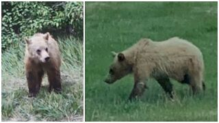 The U.S. Fish & Wildlife Service and Montana Fish, Wildlife, and Parks are investigating the death of a grizzly bear