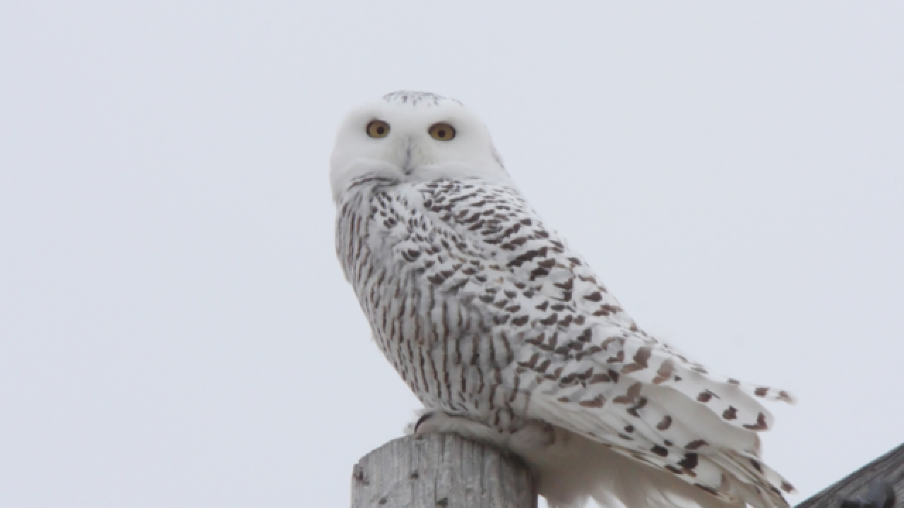 Snowy owls spotted in Milwaukee, Port Washington