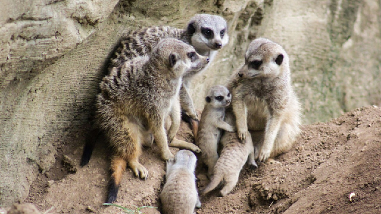 Meet The Nashville Zoo's Newest Meerkats