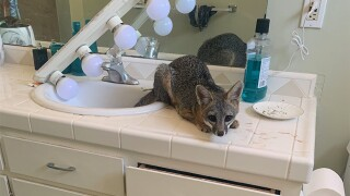 A fox entered a California home and decided to spend the night