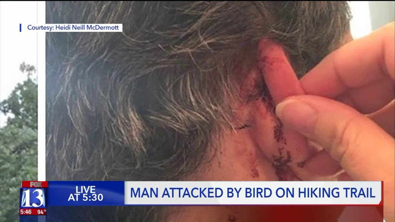 Man attacked by red-tailed hawk inHerriman