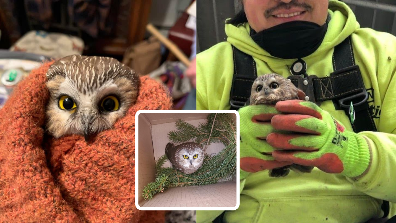 Owl rescued from trees of New York's Rockefeller Center Christmas tree in cute holiday surprise