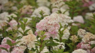 How To Grow Your Own 'Vanilla Strawberry' Hydrangeas