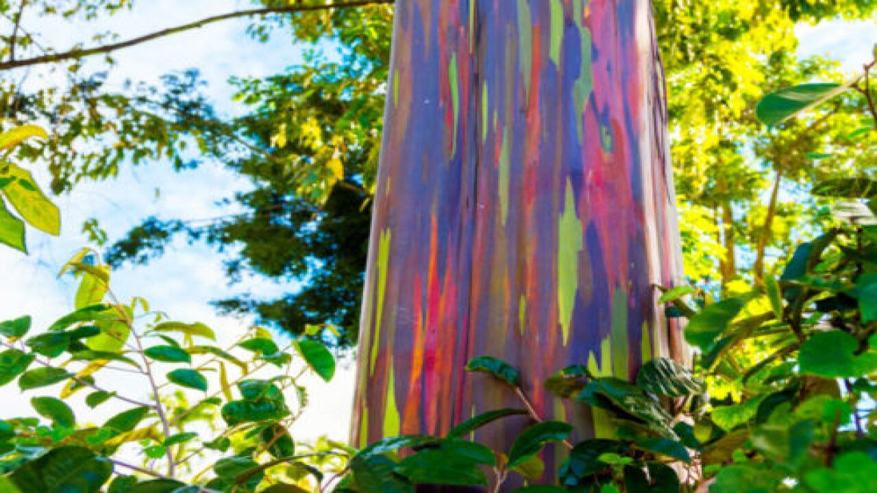 Where You Can See Rainbow Eucalyptus Trees