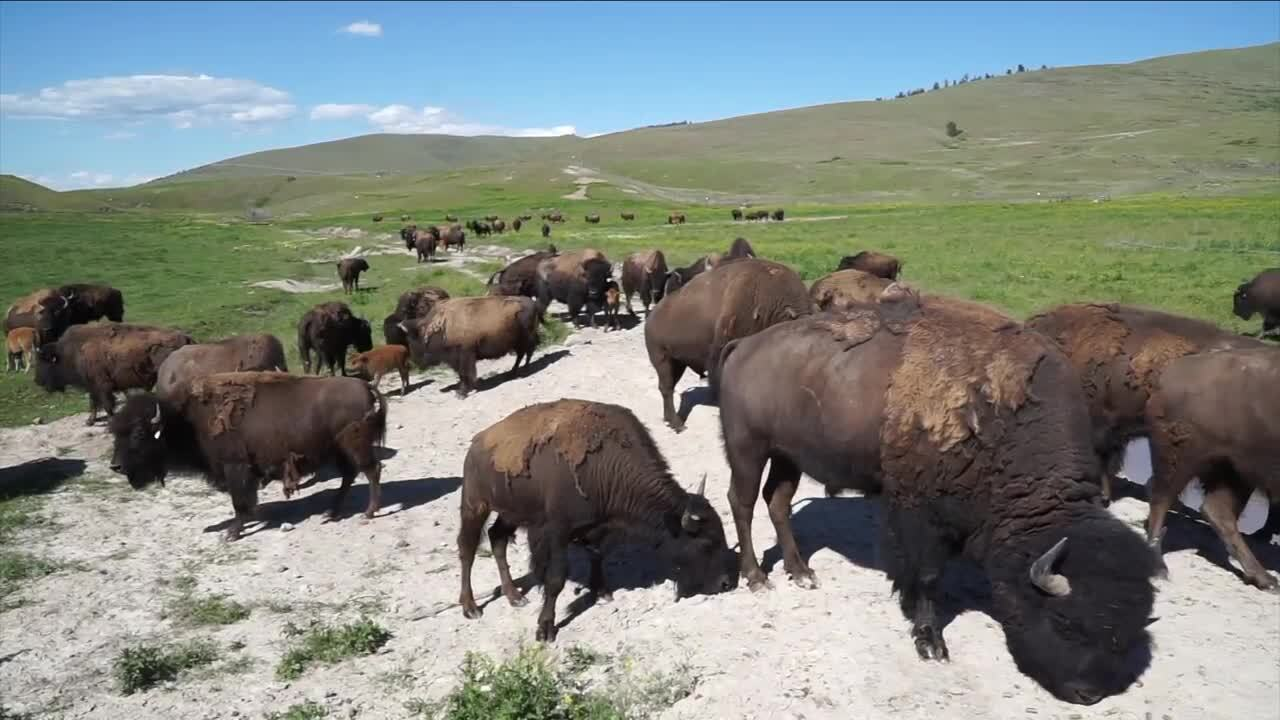 Montana Ag Network: the buffalo gals
