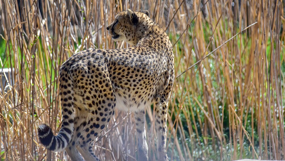 Zoo_Cheetah_01.jpg